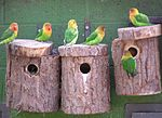 Agapornis fischeri -nest boxes in aviary-8a.jpg