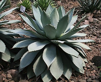 English: Suculent plant Agave potatorum in Bot...