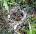 Agelenidae. (Agelena labyrinthica) - Flickr - gailhampshire (1).jpg