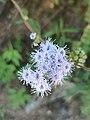 Ageratum corymbosum (Asteraceae) - Cielitos.jpg