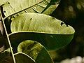 Aglaia spectabilis P1130445 01.jpg