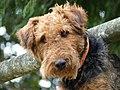 Airedale terrier head, Josselin 01.jpg