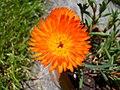 Aizoacea dai fiori arancio 2.jpg