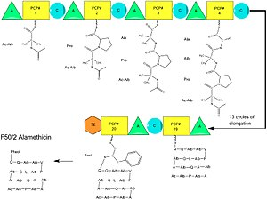 Alamethicin - A diagram of the individual modules and elongation of alamethicin biosynthesis. The growing peptide chain is shown for each module, ending in the clevage of the thioester and generation of linear alamethicin. Ac=Acetyl Aib=Aminoisobutyric acid Pheol=Phenylalaninol. Module components: A=Adenylylation PCP= Peptidyl Carrier Protein C=Condensation