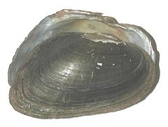 240px alasmidonta heterodon