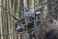 Alces alces 21(js), Biebrza National Park (Poland).jpg