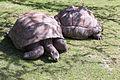 Aldabrachelys gigantea (Tortue géante des Seychelles) - 377.jpg