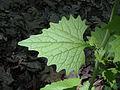 Alliaria petiolata M2.jpg