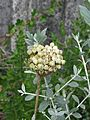 Allium atropurpureum seed heads (9551608197).jpg