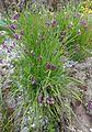 Allium cyathophorum farreri 1.JPG