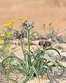 Allium rothii 3.jpg