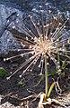 Allium schubertii Czosnek 2015 02.jpg