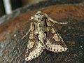 Allophyes oxyacanthae - Green-brindled crescent - Совка кистеусая боярышниковая (41054850011).jpg