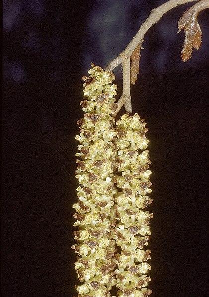 File:Alnus incana rugosa catkin.jpg