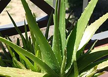 1c4168b692 Spotted forms of Aloe vera