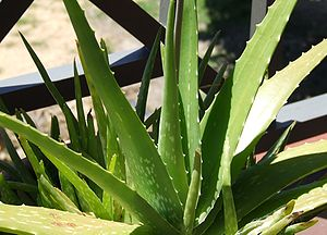 Spotted forms of Aloe vera are sometimes known...