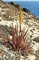 Aloe vera Lanzarote.jpg