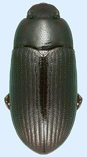 <i>Alphitobius diaperinus</i> species of beetle