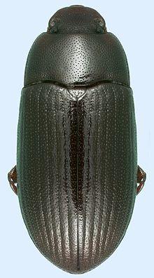 Alphitobius diaperinus, Florida.jpg