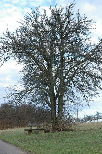 Alter Baum auf der Barbarahöhe, Auersmacher