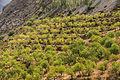 Amandiers Sierra Nevada.jpg