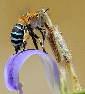 <i>Amegilla cingulata</i> species of insect