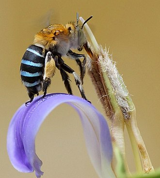 Long-tongued bees and long-tubed flowers coevolved, like this Amegilla cingulata (Apidae) on Acanthus ilicifolius. Amegilla cingulata on long tube of Acanthus ilicifolius flower.jpg