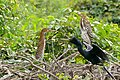 American Anhinga (Anhinga anhinga) male with 2 Rufescent Tiger Herons (Tigrisoma lineatum) juvenile ... (29028405916).jpg
