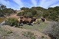 American Bison (Bison bison) Catalina (2) 04.jpg
