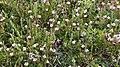 American Cranberry (Vaccinium macrocarpon) - Witless Bay, Newfoundland 2019-08-12.jpg