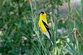 American Goldfinch (male) Eagle Rock Lake Red River Canyon NM 2019-07-09 08-56-43 (48248650166).jpg