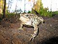 American Toad (Bufo americanus) - Flickr - GregTheBusker (1).jpg