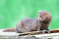 American mink geograph.co.uk 2083077.jpg