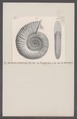 Ammonites planula - - Print - Iconographia Zoologica - Special Collections University of Amsterdam - UBAINV0274 091 01 0048.tif