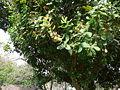 Anacardium occidentale 0003.jpg