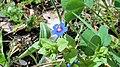 Anagallis arvensis. Meruxa de flor azul anellada.jpg