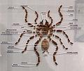 Anatomie de la mygale Hysterocrates ederi 07042016.jpg