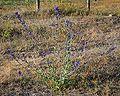 Anchusa officinalis 1.jpg