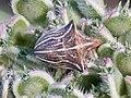 Ancyrosoma leucogrammes-Punaise Ancyrosoma-20150620.jpg