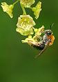 Andrena haemorrhoa (2554023481).jpg