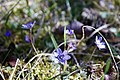 Anemone hepatica in the Horsan nature reserve.jpg