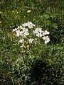 Anemone narcissiflora01.jpg