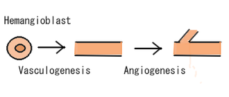 Angiogenesis - Angiogenesis following vasculogenesis