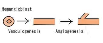 Angiogenesis.png