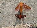 Anisota virginiensis mating.jpg