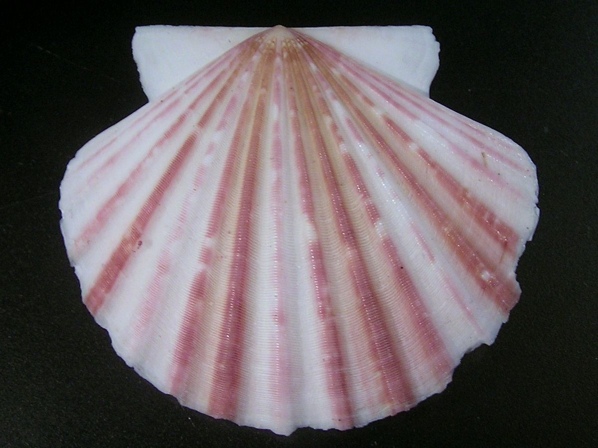 Scallop simple english wikipedia the free encyclopedia biocorpaavc Image collections