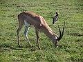 Antelope, Ngorongoro (2015) - 2015-01-14 - 00-50-32.jpg
