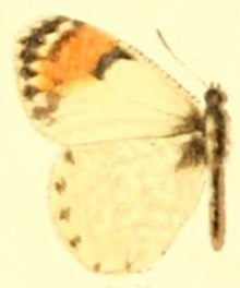 Anthocharis julia.JPG