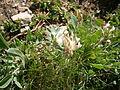 Anthyllis vulneraria ssp vulnerarioides.jpg