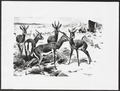 Antilope spec. - 1891 - Print - Iconographia Zoologica - Special Collections University of Amsterdam - UBA01 IZ21400051.tif